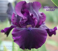 Iris MIDNIGHT SHARP by George Sutton near black Intermediate bearded iris available at Stout Gardens at Dancingtree. Iris Flowers, Flowers Nature, My Flower, Purple Flowers, Planting Flowers, Beautiful Flowers, Cactus Flower, Exotic Flowers, Flowers Garden