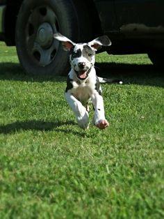 Happy #Great #Dane puppy :)) Sampson