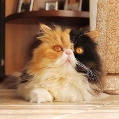 #petclubsa #catsofinstagram #gato #gatto #gattipersiani #catlife #ilovemycat #meow #prettykitty #picoftheday #persiancatsofinstagram #persiancat #kitten #kittens #kittensofinstagram #fluffy #love #cutecatcrew #neko #cat #miao #meowbox #bestmeow #katzen #猫 #кошка #ねこ #gatti #cutecat Neko Cat, Pretty Cats, Cat Life, Cats Of Instagram, Kittens, Cute Animals, Club, Collection, Gatos