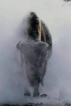 Ghostly bison in steam during winter, Yellowstone National Park. Photo by Norbert Rosing / National Geographic. °