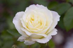 Easy Elegance 'Macy's Pride™' shrub  Rose