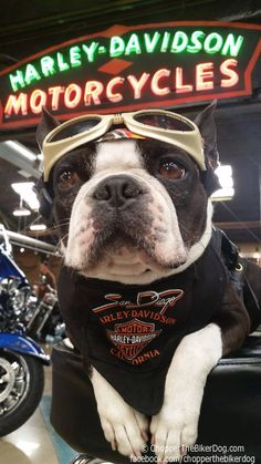 Look! Two of my favorite things ... Bostons and Harley-Davidson