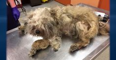 Sweet Little Petunia Gets A Life-Changing Makeover! | TheAnimalRescueSite.com | Sweet Petunia was severely neglected. Her hair was never groomed & developed into huge clumps of knots that weighed more than her. You have to see her transformation to believe it. Even under all that dirty, matted hair, you can still see her tiny tail wagging. It shows us all that Petunia, like most dogs, has such a forgiving heart. Click to watch and share this awesome video!