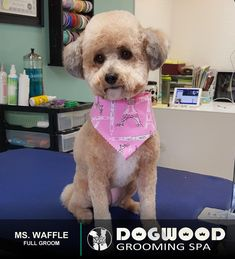 Ms. Waffle is in the house for a Full Groom @ Dogwood Grooming Spa - Knoxville!  Visit our website @ dogwoodgroomingspa.com or Call us at (865) 297-4277 to book an appointment for your pet!  #dogwood #dogwoodgroomingspa #creativegroomer #petstylist #petgroomerknoxville #petgroomer #petgrooming #pets #catgroomer #catgrooming #cats #doggrooming #deshedding #doggroomer #dogs #cityspotz #knoxville #knoxvilletn #knox