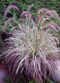 Pennisetum 'Cherry Sparkler' (White and Pink Variegated Fountain Grass) height of only so perfect in pot with complementary plants. Perennial Grasses, Ornamental Grasses, Sun Perennials, Garden Shrubs, Shade Garden, Backyard Shade, Pennisetum Setaceum, Fountain Grass, Garden Fountains