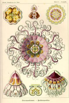 Peromedusae by Ernst Haeckel; Kunstformen der Natur, 1900