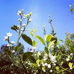 シークワーサーの山は花と甘い香りでいっぱい。 - @u_ideaninben- #webstagram