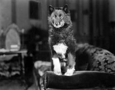 Balto (1919 – March 14, 1933) was a black and white Siberian husky sled dog who led his team on the final leg of the 1925 serum run to Nome, in which diphtheria antitoxin was transported from Anchorage, Alaska, to Nenana, Alaska, by train and then to Nome by dog sled to combat an outbreak of the disease