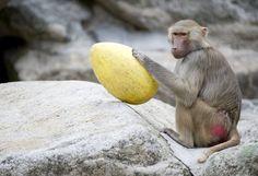 Un babbuino gioca con un uovo di plastica allo zoo di Hellabrunn di Monaco, in Germania (Lukas Barth/dapd) - Seguici su www.reflex-mania.com