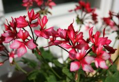 Sunnuntaiaamun luksusta on kierros syksyisellä pihalla, jossa kukat laulavat joutsenlauluaan. Sain ihasteluuni kaverinkin naapurista. Naapurin kissa nimittäin omistaa meidän tontin, sellaisin elkei…