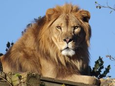Roman the lion from Carolina Tiger Rescue How To Look Handsome, Big Cats, Lions, Shelter, Roman, Cute Animals, Creatures, Kitty, Top