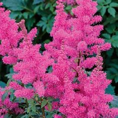 Younique Carmine Astilbe...a beautiful must have addition for any shade or woodland garden!!