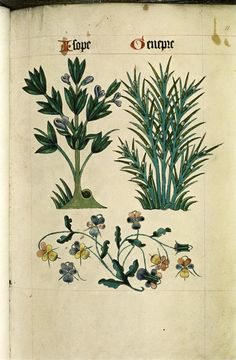 Hyssop and Juniper. Pansies, violets,