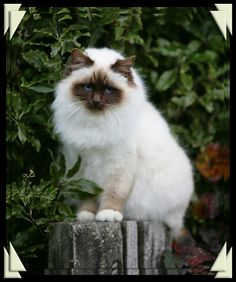 great chocolate point color on this beautiful Birman girl!