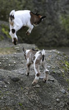 """""""Let your guard down and pay the price, now we will be even"""" said the retribution focused pygmy goat."""