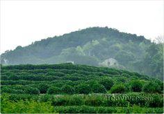 Long Jing Tea Garden