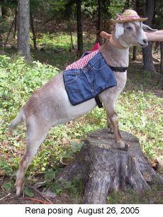 Goat training