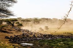 This #TravelTuesday we wish we could be watching the impressive herds of the Great Migration! 🌍 Truly one of nature's greatest spectacles! Have any of you been lucky enough to witness the migration in action? 🌿  Thanks to our guest Andrea Morris for the beautiful photo taken in Tanzania!