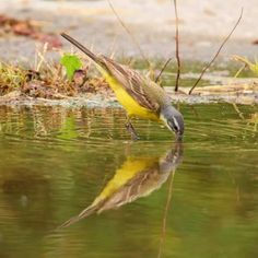 Gele kwikstaart Special Pictures, Bird, Animals, Animales, Animaux, Birds, Animal, Animais