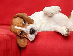Beagle dog after a night of partying