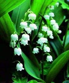Lily of the Valley - T&T Seeds Ltd