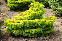 'Golden Spreader' Nordmann Fir - Bright gold and slow-growing, this dwarf fir is a stunning accent plant. Zone 5. Sun/Part shade.