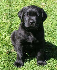 Labrador Retriever Club of Victoria Inc - Australia