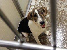 URGENT!!! At Risk To Be Killed: Sep 18, 2016! * #31903 Hound/Terrier Mix (?)…
