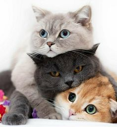 Cute Animals Holding Hearts over Adorable Hilarious Kittens minus Adorable Persian Kittens For Sale much Cute Animals Puppies time Cute Baby Animals Cartoon Drawings Pretty Cats, Beautiful Cats, Animals Beautiful, Gorgeous Guys, Beautiful Babies, Beautiful Pictures, Cute Kittens, Cats And Kittens, Persian Kittens