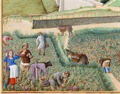 ancient illuminated manuscript - grape harvest