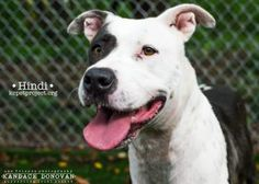 Animal Details Click a number to change picture or play to see a video: [1] [2] [3][Play]  Animal ID23828948SpeciesDogBreedTerrier, American Pit Bull/MixAge3 years 4 months 15 daysSexFemaleSizeLargeColorBlue/WhiteSpayed/NeuteredDeclawedNoHousetrainedYesLocationFoster HomeIntake Date7/16/2015
