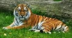 #NationalAnimalOfIndia is 'Tiger' , population of Tiger is reducing due to smuggling of Tiger Skin... #IndianNationalAnimal