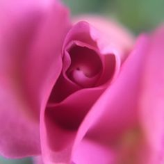 The delicate #pink petals of an unfurling rosebud. #rose #roses #closeup #naturelovers #gardengram #gardens #mygarden #macro #macros #macroclique #macro_vision #macro_freaks #pinkrose #pinkroses #roses #love #pink #summer #beautiful #roses #pinkroses #flowerstagram #flora #macrolicious #macrophotography #macroworld #macro_x #flowers #macroclique #macrolovers