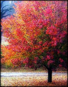 Bradford Pear Tree....beautiful in its autumnal colors.