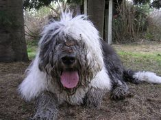 old English sheepdog photo   Tags old English sheepdogs   dirty, but HAPPY face!