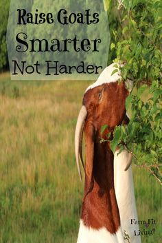 Many new goat producers find it very hard to raise goats. Raise goats smarter not harder. Here are 7 ways to raise goats smarter not harder. Raising Farm Animals, Raising Goats, Cabras Boer, Small Goat, Small Farm, Goat Toys, Keeping Goats, Show Goats, Goat Care