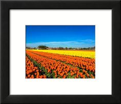 Tulip Field Fine art photography Landscape photography