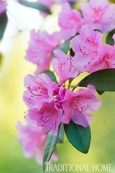 Vigorous Rhododendron 'Pioneer Silvery Pink'  - Photo: Rob Cardillo