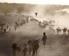 Photography by @JohnStanmeyer  Pastoralist guide their livestock back to Haramfaf Bouri village after grazing all day in the Afar region of northern Ethiopia. In this village and surrounding area is where paleoanthropologist discovered countless human remains and stone tools created 60000-1.5 million years ago.  Join me for a deeper immersion into a visual journey across our globe over on my #Instagram page where I highlight cultures issues wrapped around the astonishing landscape at the…