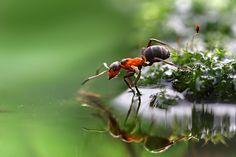 macro ant