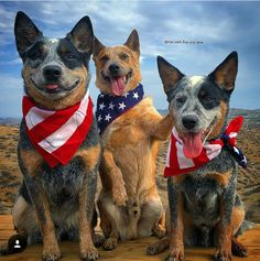 Patriotic Cattle Dogs