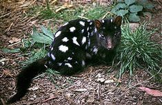 Black Eastern Quoll. carnivorous nocturnal marsupial