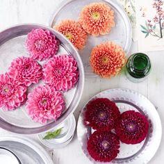 Farbenfrohe Dahlienblüten