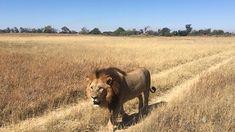 Impressive local #lion #safari #OkavangoDelta