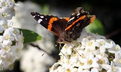 Butterflies Of Ohio - Google Search