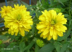 Flowers | Friday is for Flowers- Bright Yellow Flowers - Travel Tales from India #Flowers