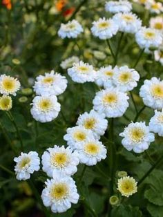 How to grow and harvest Feverfew