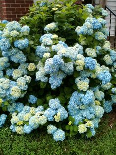Hydrangeas... reminds my of my Papa and Granny's home, where they grew on both sides of the front steps.