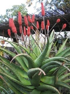 Aloes are blooming!  Lots of beautiful aloe flowers!