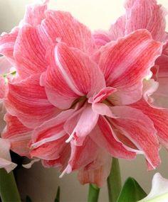 Amaryllis First Love - Christmas Flowering Double Amaryllis - Amaryllis - Flower Bulb Index
